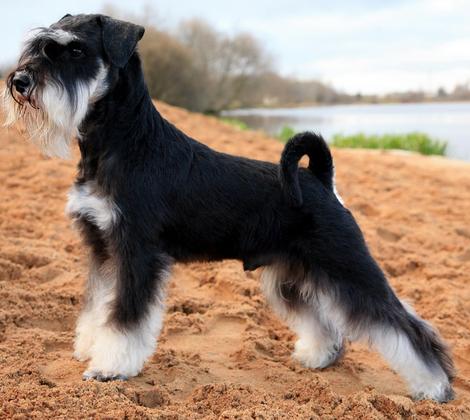 Продается очаровательный щенок цвергшнауцера 200317г рождения окраса чёрный