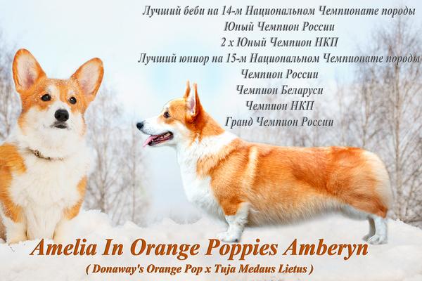 Amelia In Orange Poppies Amberyn, Лоредж, питомник Лоредж, Loredge, питомник Loredge